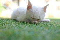 睡着的小白猫