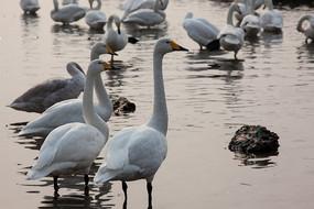 天鹅栖息地的一群天鹅