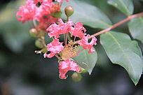 枝头上的粉色花簇