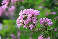 枝头上的紫薇花