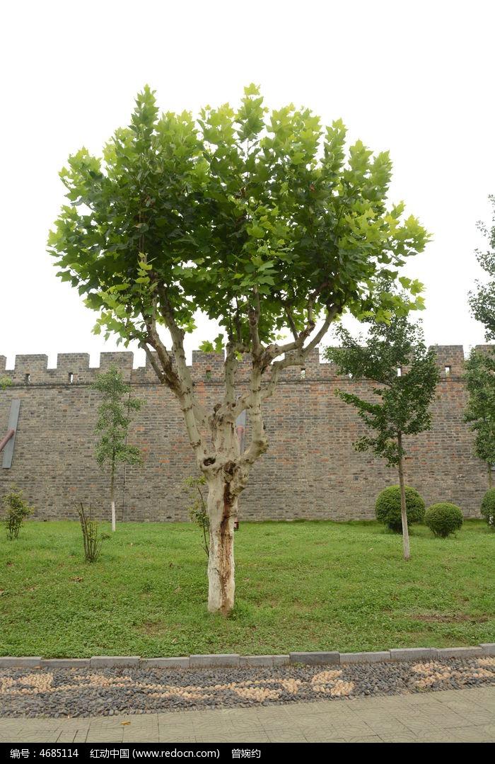 城墙边梧桐树