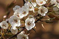 纯净芬芳的梨花枝叶