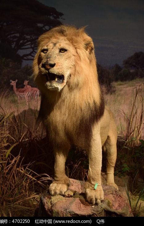 动物标本狮子图片,高清大图_艺术文化素材