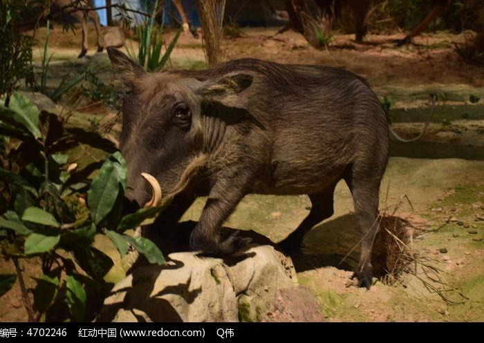 动物标本野猪图片