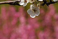 公园内盛开的洁白梨花