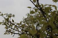 蓝天下的梨花树