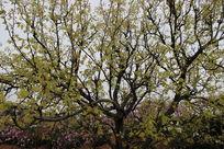 满山的梨花树