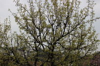 满山的美丽的梨花树