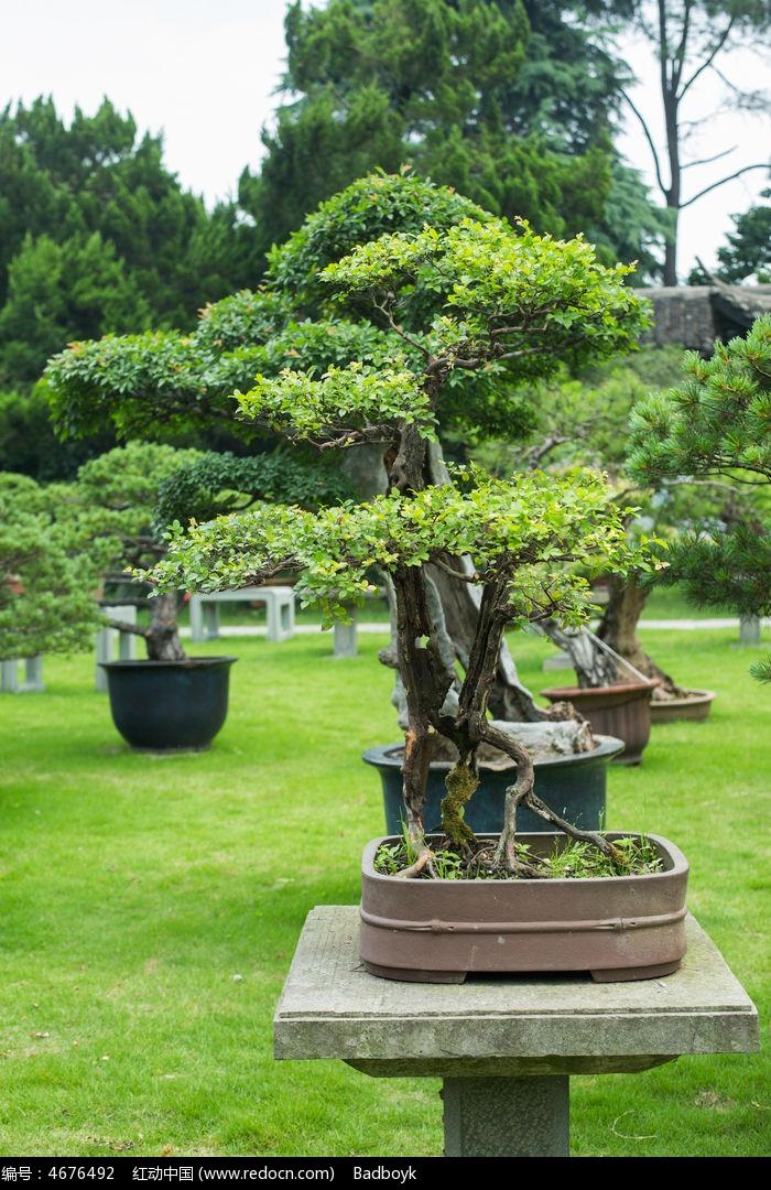 原创v盆景图建筑摄影园林景观盆景绿叶小米景观树叶请您分享植物ui设计师工作室图片