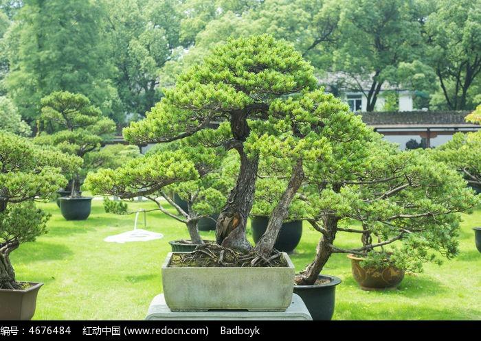 松树盆景景观植物园林景观