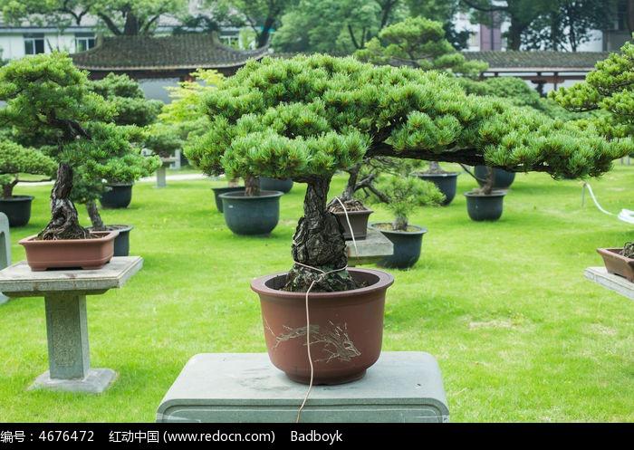 松树松叶盆景图片,高清大图_园林景观素材