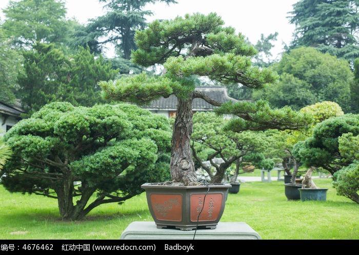松树松针盆景园林景观