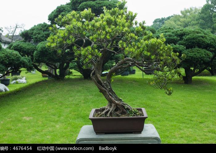 松叶松树盆景园林景观