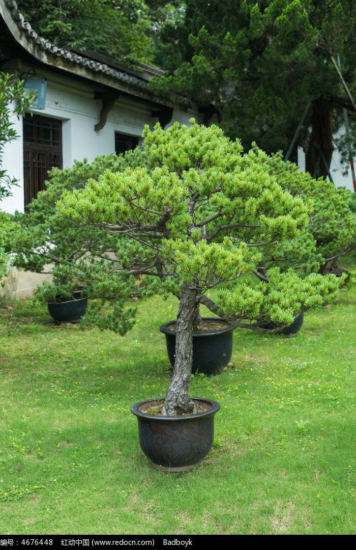 松针松树盆景园林植物图片