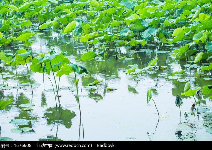 原创摄影图 动物植物 花卉花草 植物春天春雨荷塘荷叶自然清新  请您