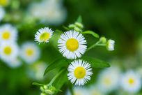 植物春天自然花卉花朵白色菊花高清微距