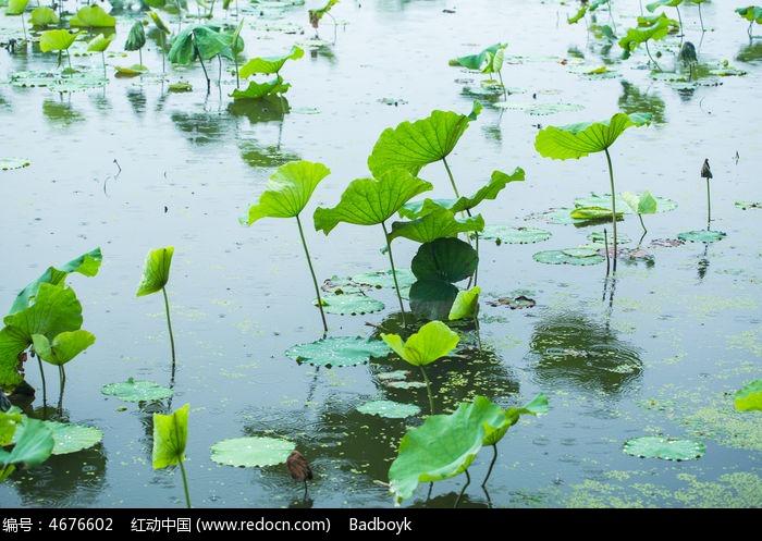 植物春天自然清新荷塘荷叶图片