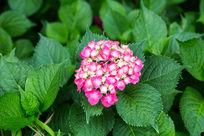 植物花卉花朵红色绣球花微距