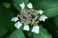 植物花卉花朵琼花高清微距