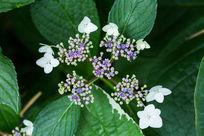 植物花卉花朵琼花微距