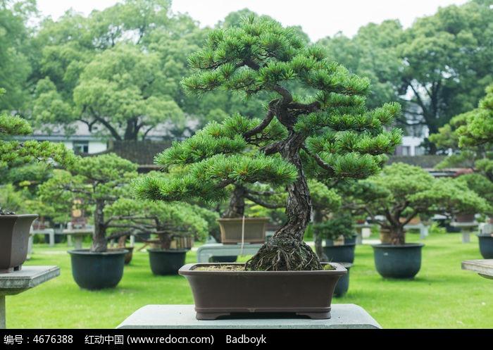 植物松树松叶盆景图片