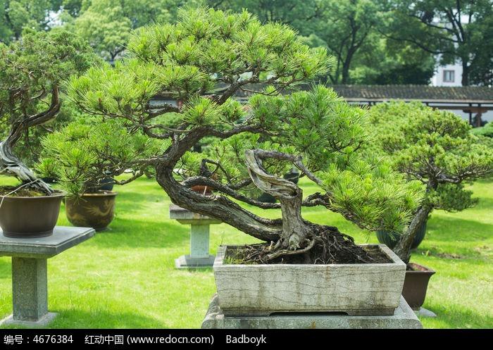 植物松树松叶盆景园林景观
