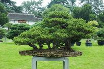 植物松叶松针大型盆景园林景观园林植物
