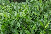 茶叶雨后自然清新