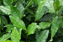 茶叶自然清新高清微距