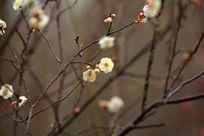 冬日盛开的白色梅花