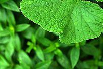 高清拍摄绿叶叶脉纹理素材