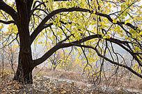 金黄叶子的一棵树