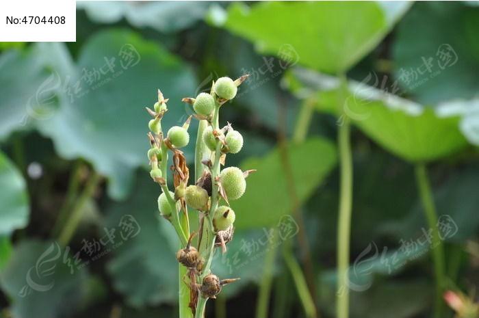 原创摄影图 动物植物 花卉花草 美人蕉果实