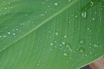 美人蕉叶子露水