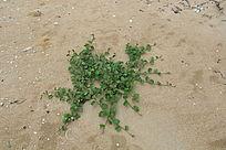 沙滩上的攀爬植物