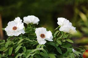 四朵盛开的白牡丹