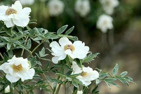 四朵盛开的白色牡丹花