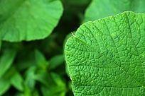 田园里的绿色南瓜叶叶脉纹理