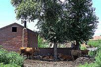 午休耕牛摄影图片