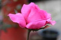 一只孤独的红色的花朵