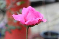 一只红色的孤独的花朵