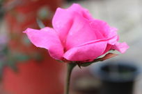 一只红色的美丽的花朵