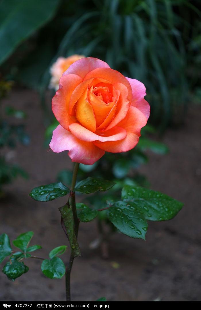 一枝玫瑰花图片