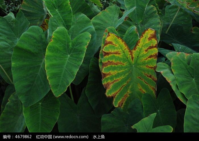 原创摄影图 动物植物 花卉花草 芋头叶子  请您分享: 红动网提供花卉