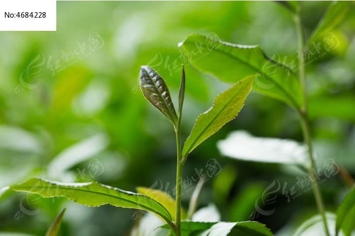 原创摄影图 动物植物 花卉花草 植物茶叶春天自然清新高清微距  请您
