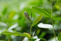 植物茶叶春天自然清新高清微距