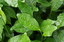 植物茶叶水珠露珠雨后自然清新