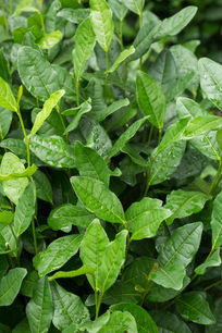 植物茶叶水珠露珠雨后自然清新高清微距
