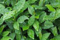 植物茶叶雨后