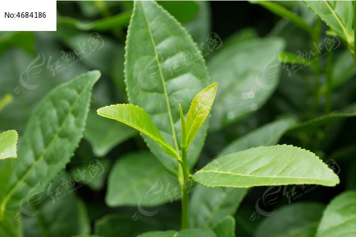 植物春天自然茶叶高清微距